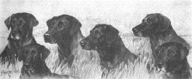 история породы лабрадор ретривер